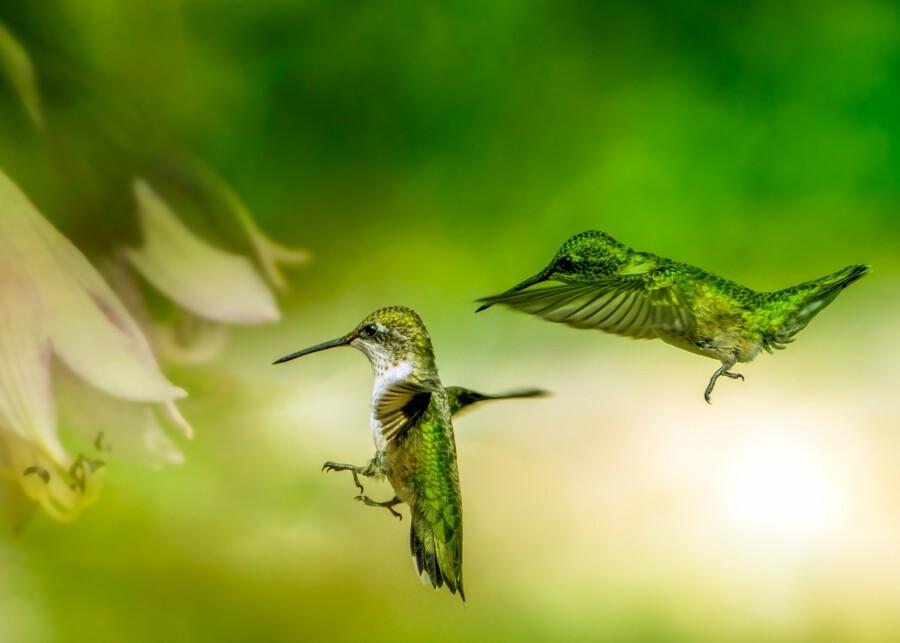 Emerald Hummingbirds  Print