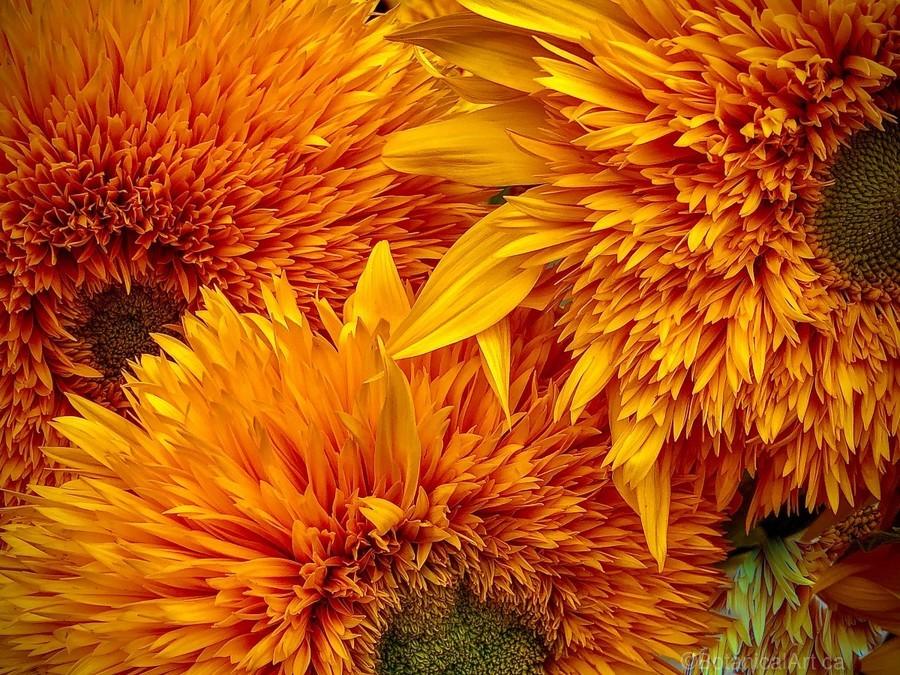 Fluffy Yellow Sunflowers  Print