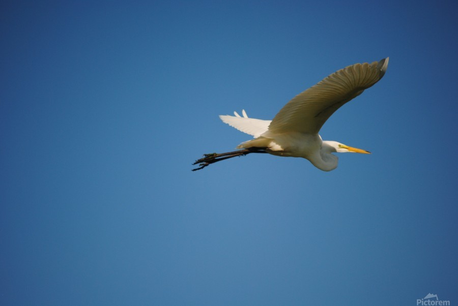 Egret Flying  Print