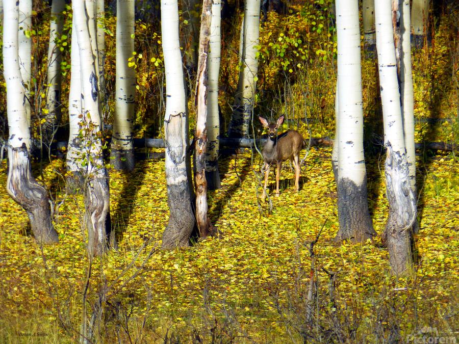 Baby Deer in Old Aspen Trees  Print