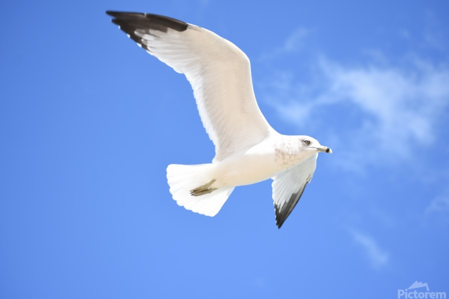 Seagull Overhead  Print