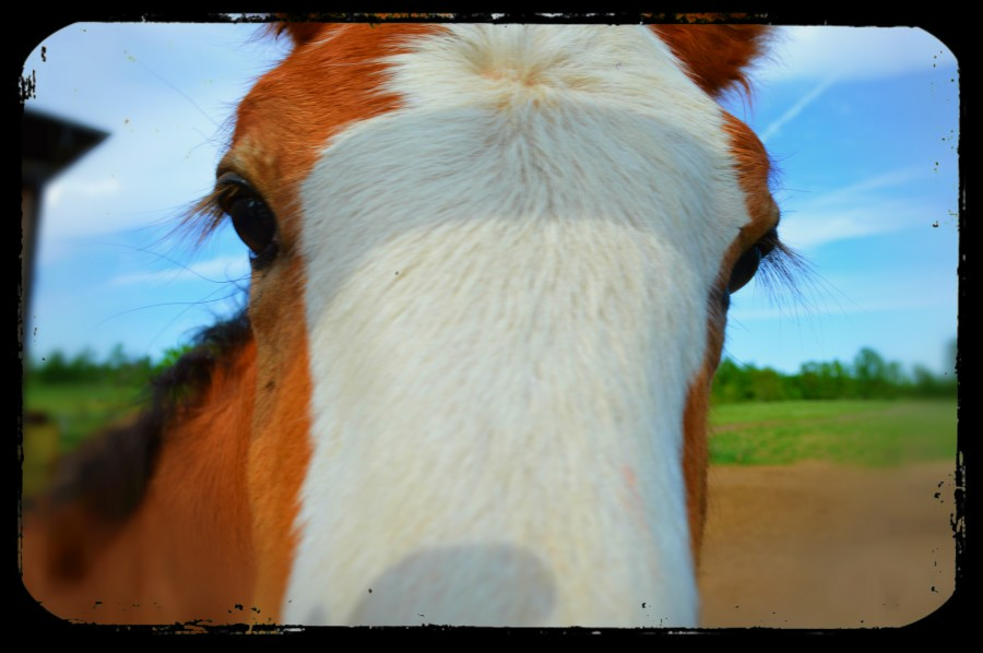 Baby Clydesdale  Print
