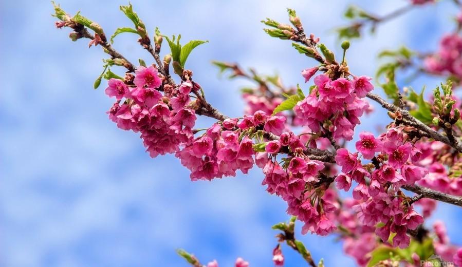 Tree XIII - Cherry tree  Print