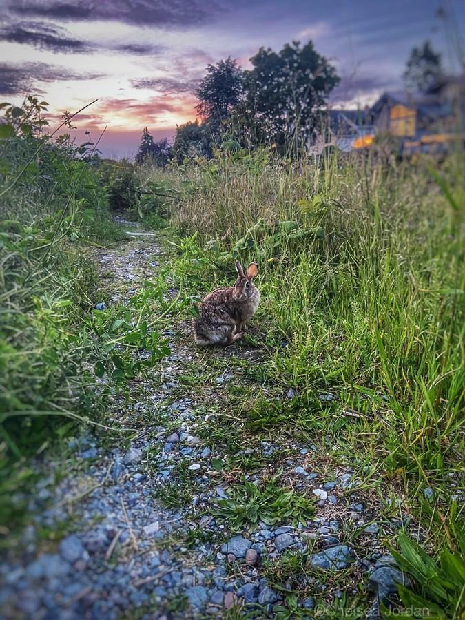 Sunset bunny  Print