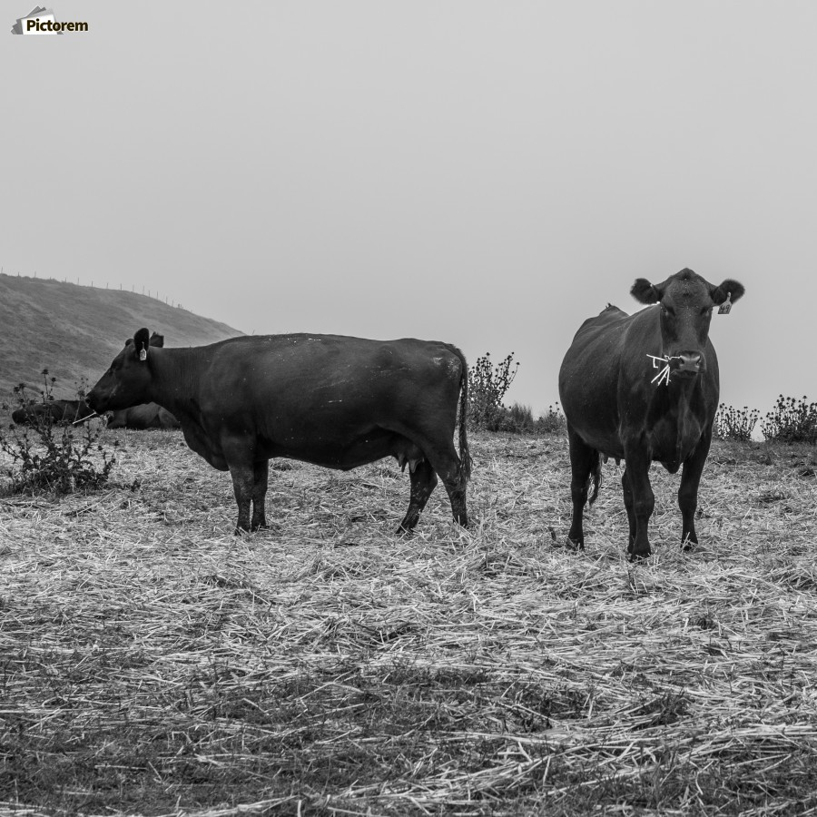 Cows in the mist  Print