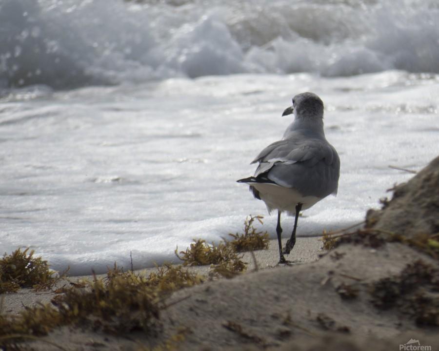 Seagull running  Print