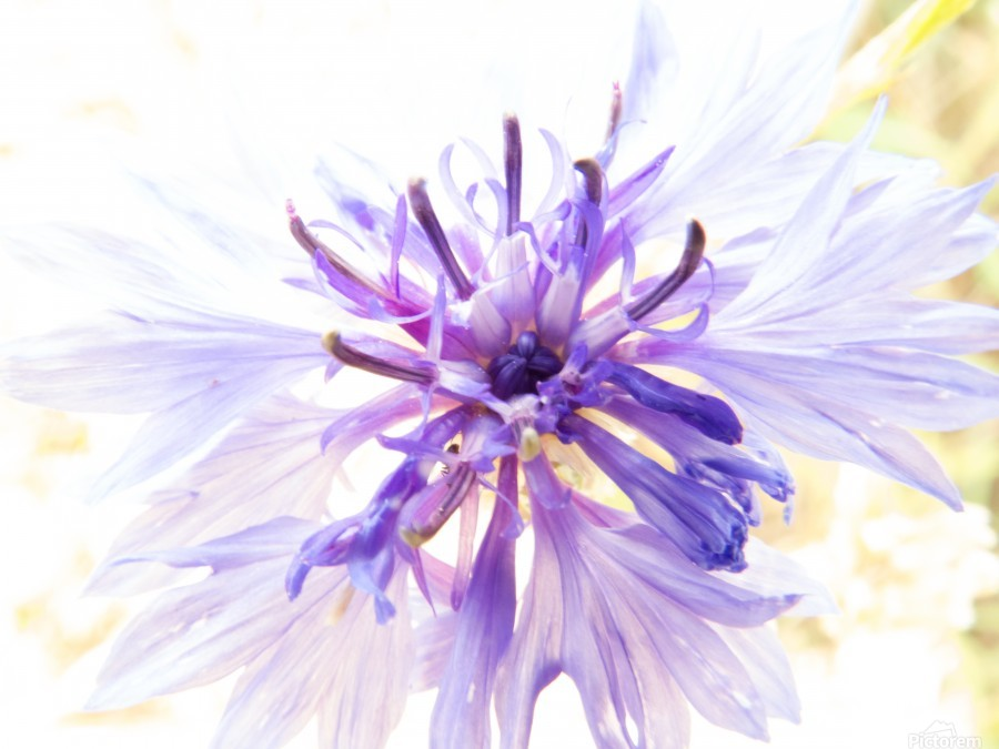 Purple Flower Burst  Print