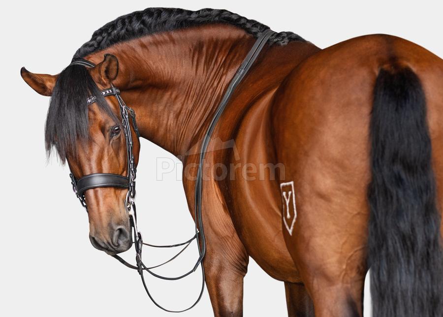 Bay Horse Portrait  Print