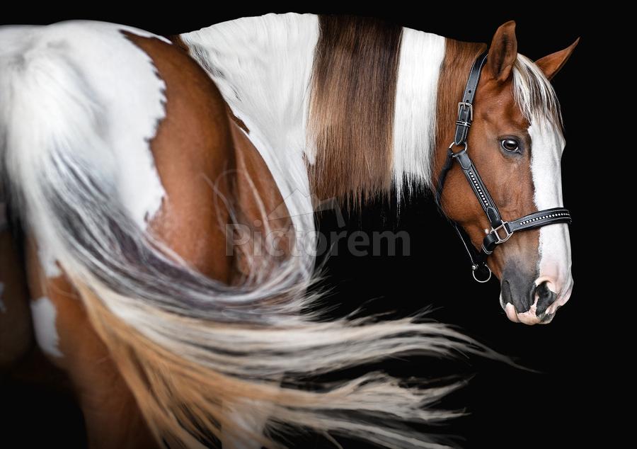Paint Horse Portrait  Print
