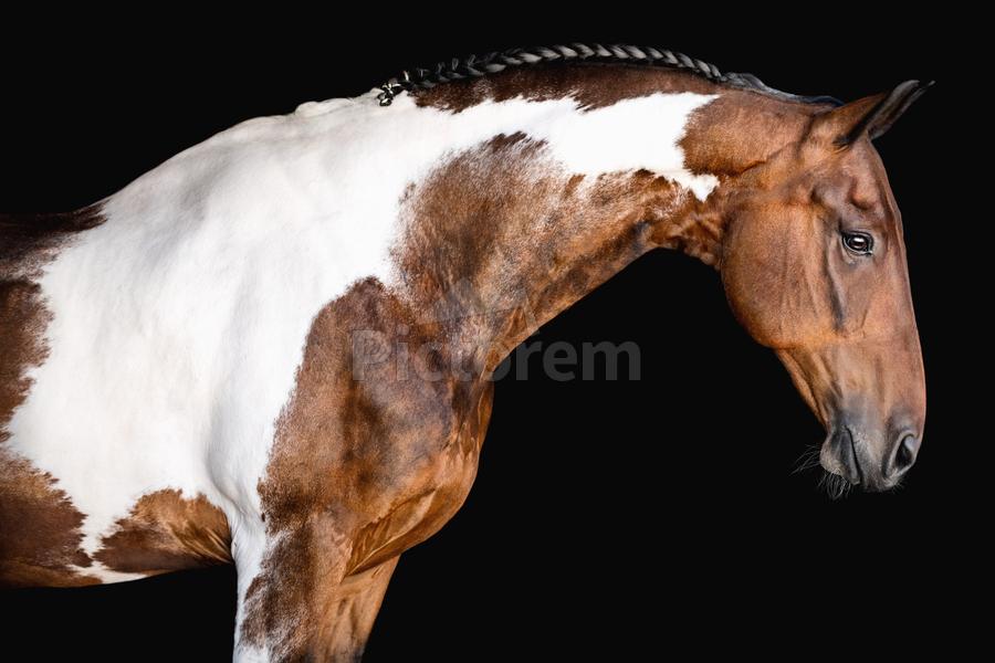Paint Horse Portrait - Comanche  Print