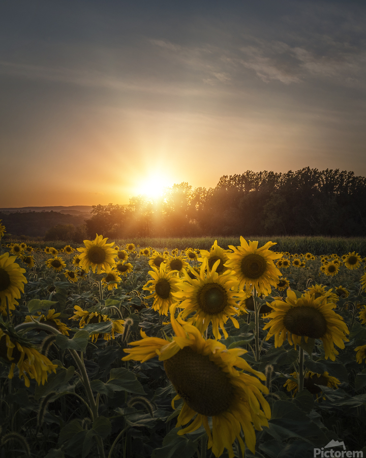 Sunflower Sunset  Print