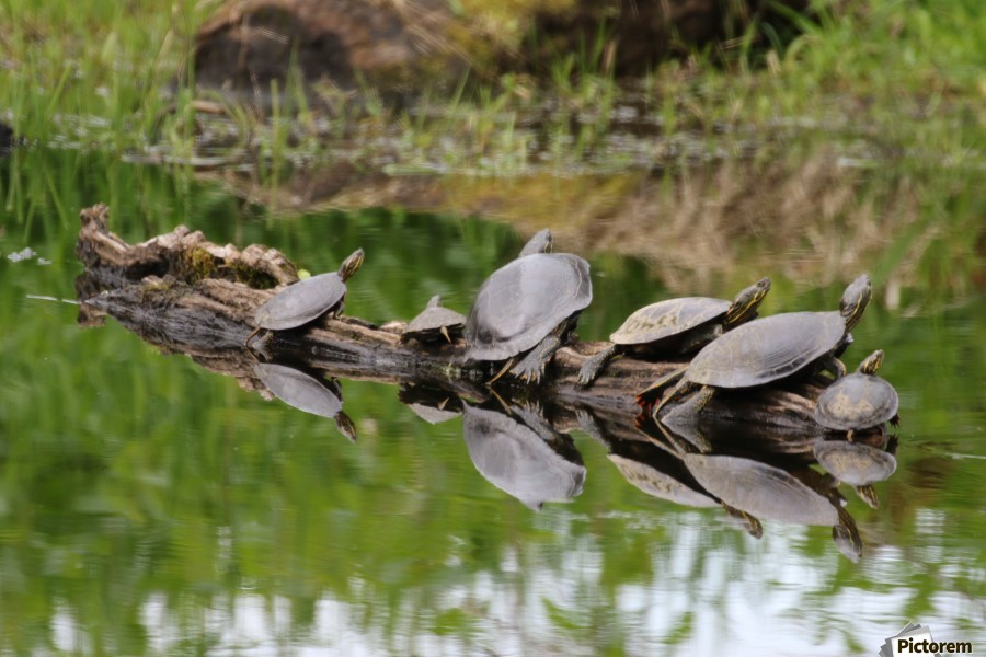 Turtle reflections  Print