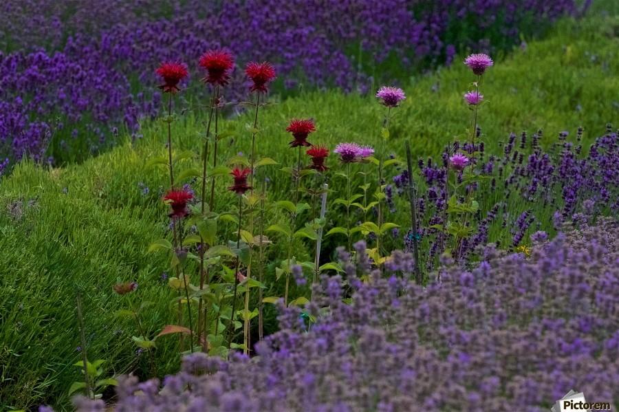 Bee Balm Blooming in Lavender Field  Print