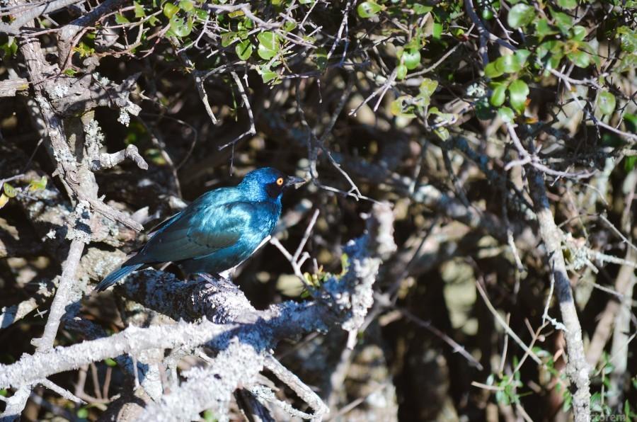 Blue Reflective Bird  Print