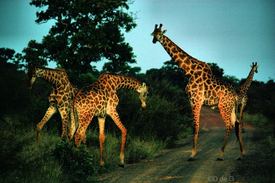 Giraffes at sundown 2  Print