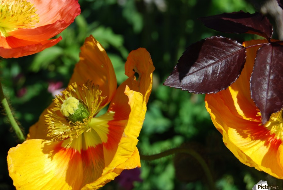 Yellow Poppies Growing in a Garden  Print
