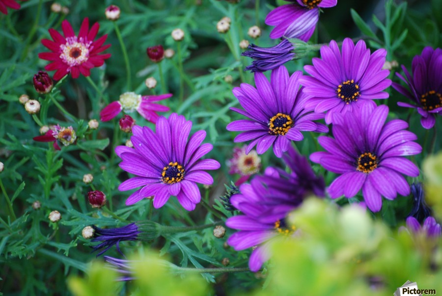 Purple Flowers in Dana Point CA  Print