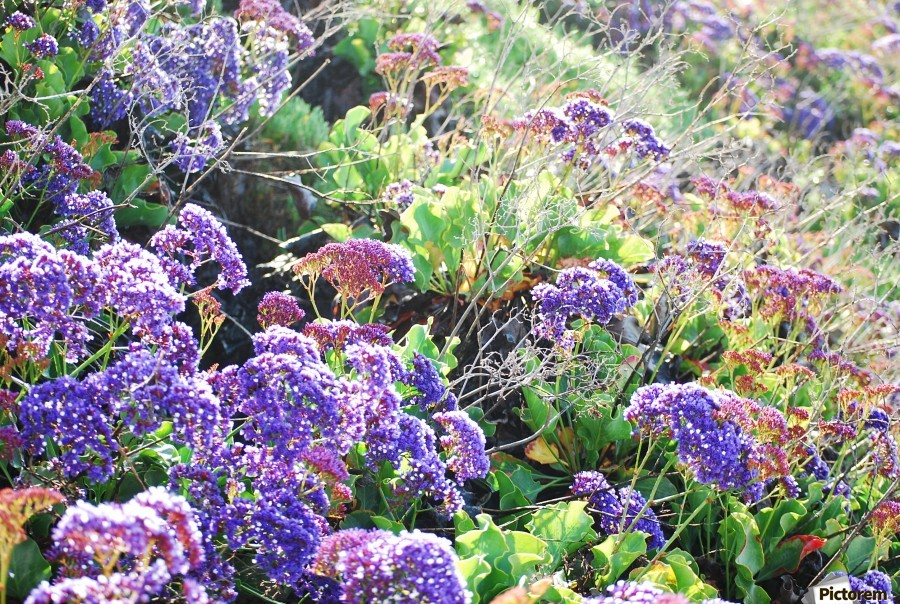 Purple Wild Flowers in Dana Point CA  Print