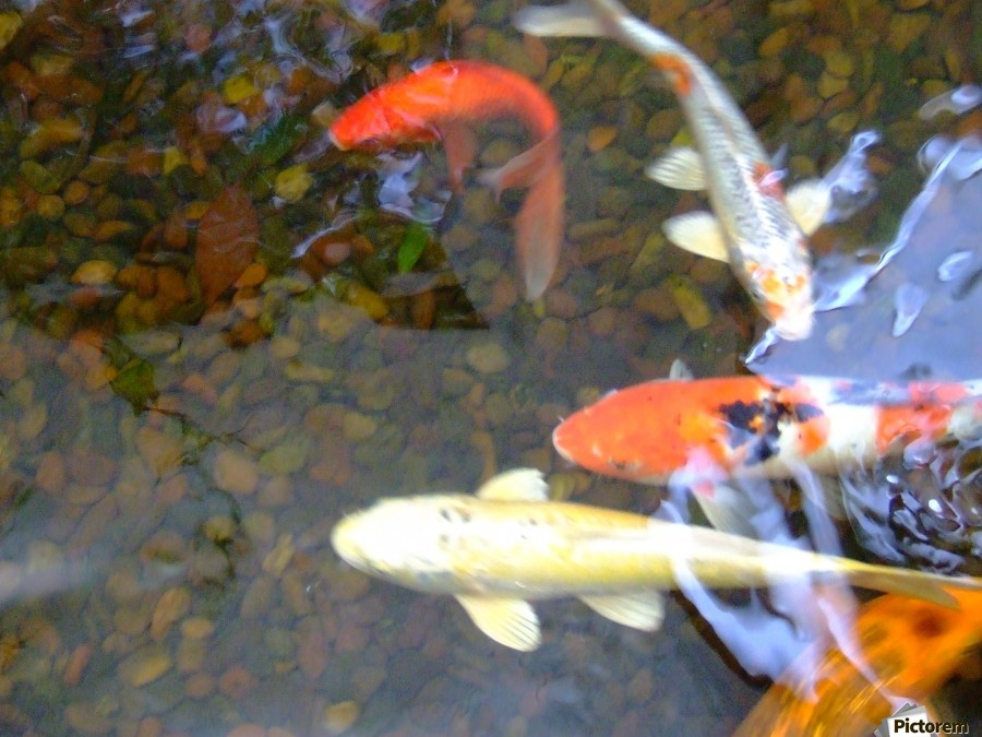 Koi Fish In Home Pond   Print