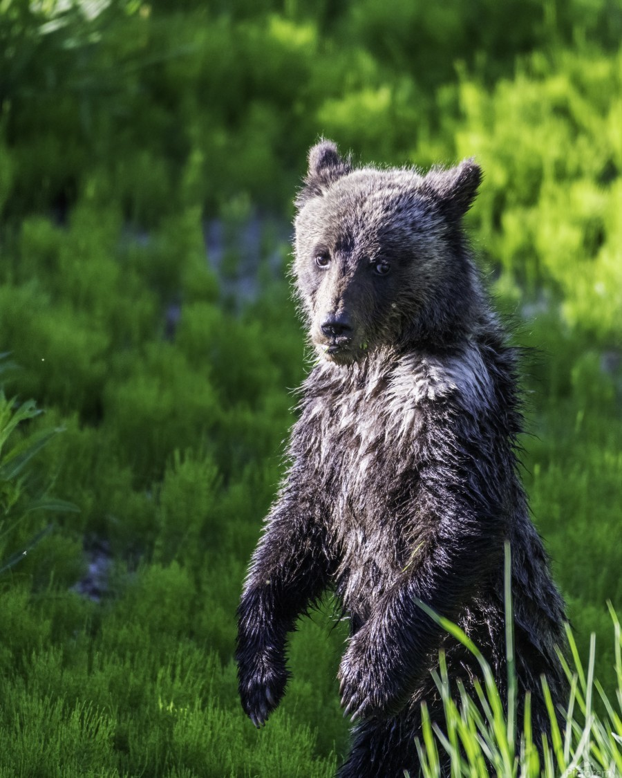 A grizzly cub named Pepper  Print