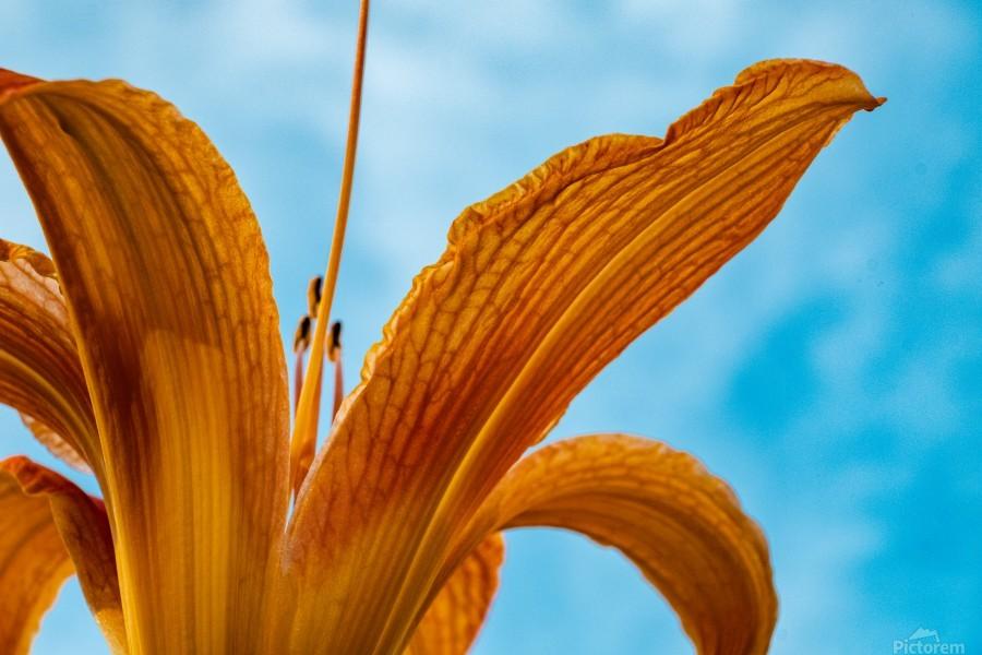 Orange Iris 3  Print