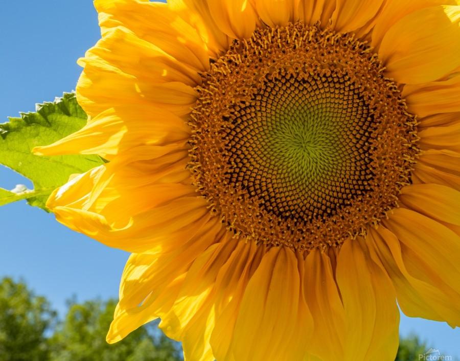 Sunflower 10  Print