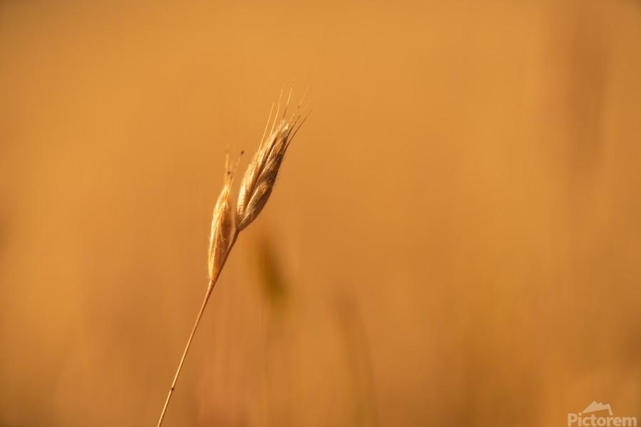 Golden Hour Grass  Print