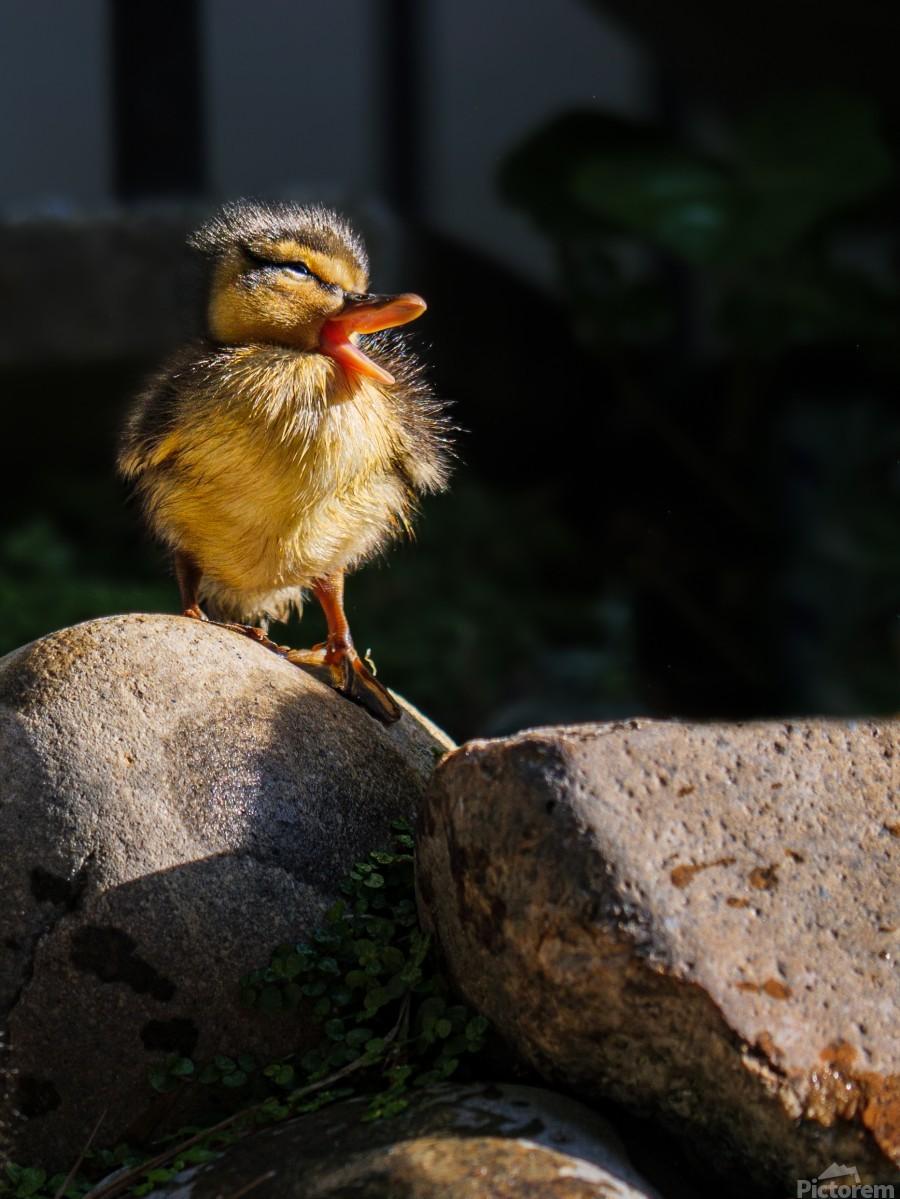 Quacking Duckling  Print