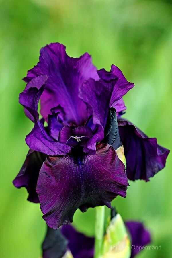 Deep purple iris deb oppermann canvas canvas print izmirmasajfo