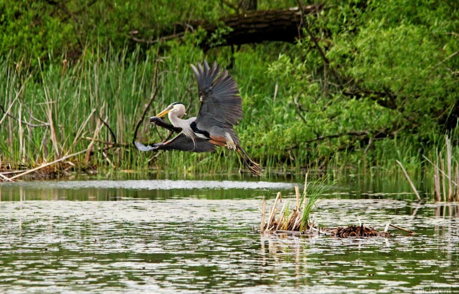 Photos Com Great Blue Heron With Snake Gallery Of Metal Wall Art View Arts Flower
