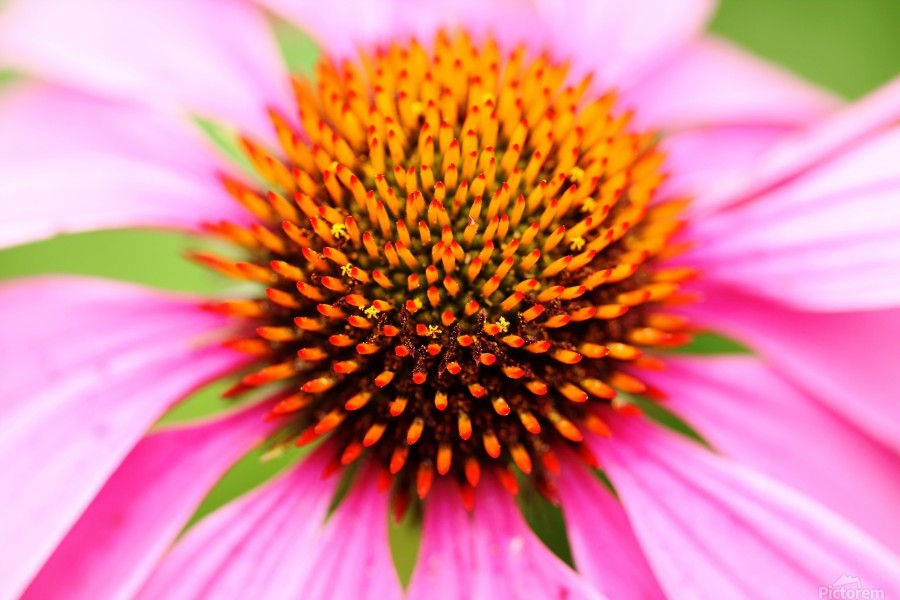 Hedgehog Coneflower  Print