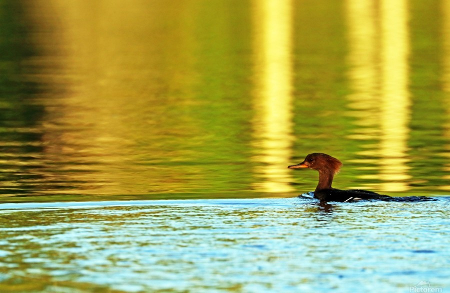 Merganser In Setting Sun  Print