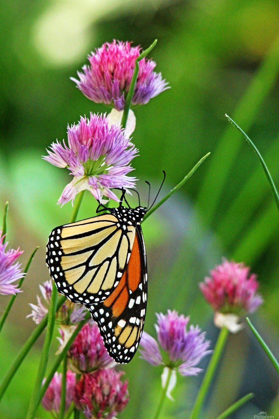 Monarch Butterfly On Chive Blooms  Print