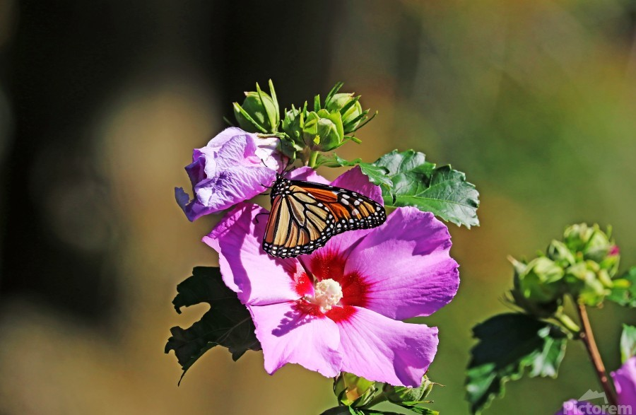 Monarch And Rose Of Sharon  Print