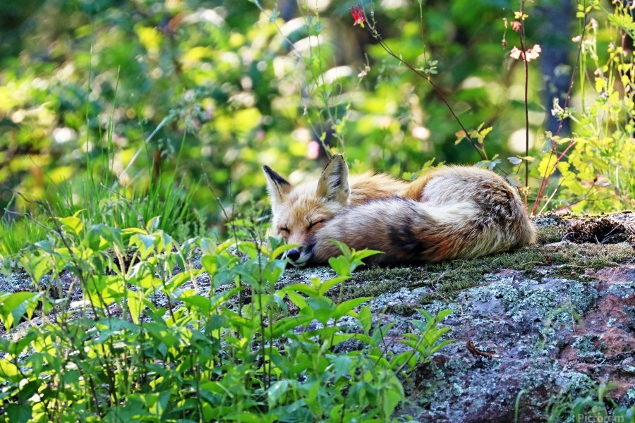 Nap Time For Red Fox I  Print