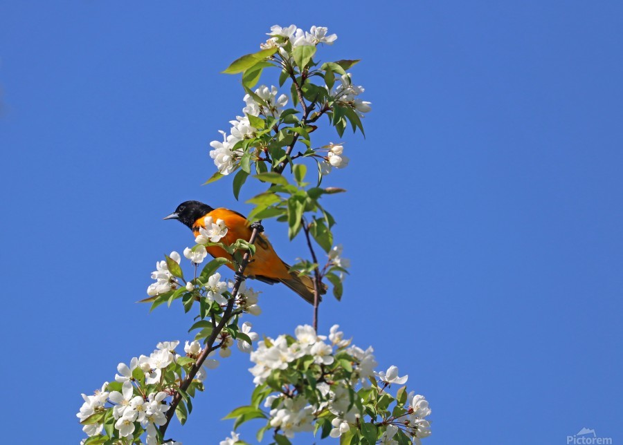 Oriole And White Blossoms  Print