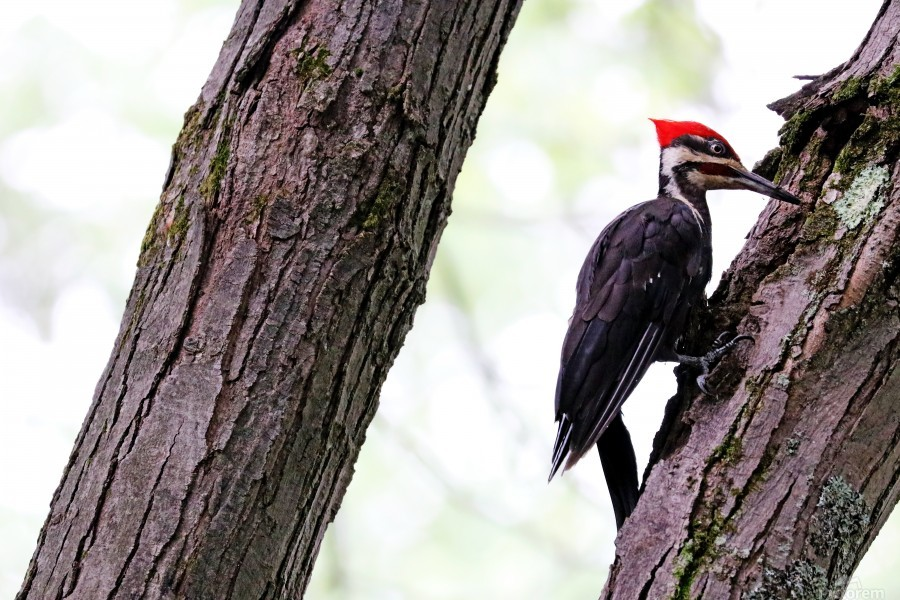 Pileated Woodpecker Checking The Cracks  Print