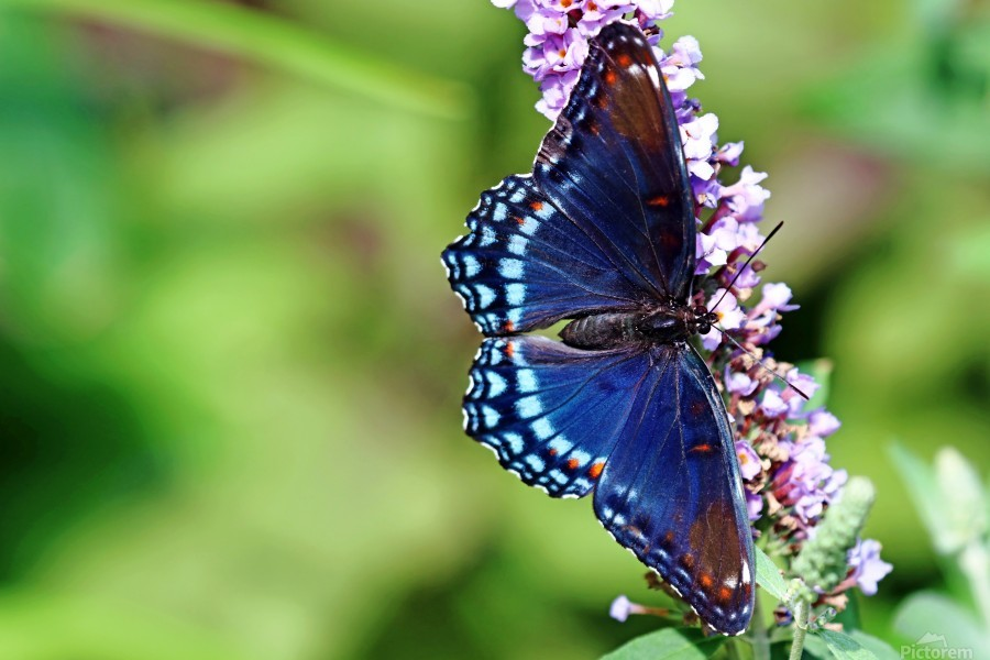 Red Spotted Purple Beauty  Print