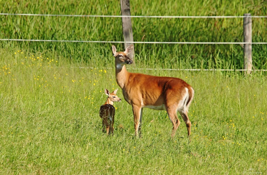 Whitetail Doe And Fawn  Print