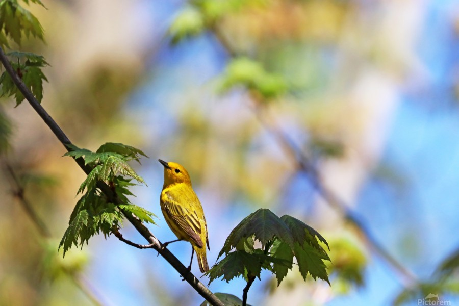 Yellow Warbler In Maple Tree  Print