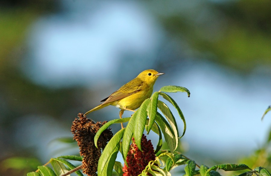 Yellow Warbler In Sumac  Print