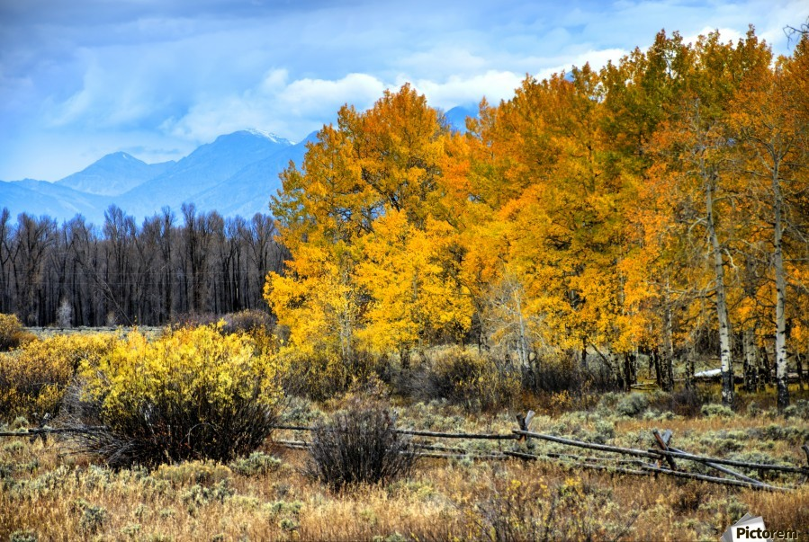 Fall Holdouts in Jackson Hole  Print