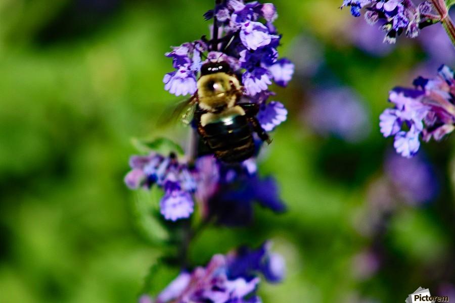 Bumbling Bee 2  Print