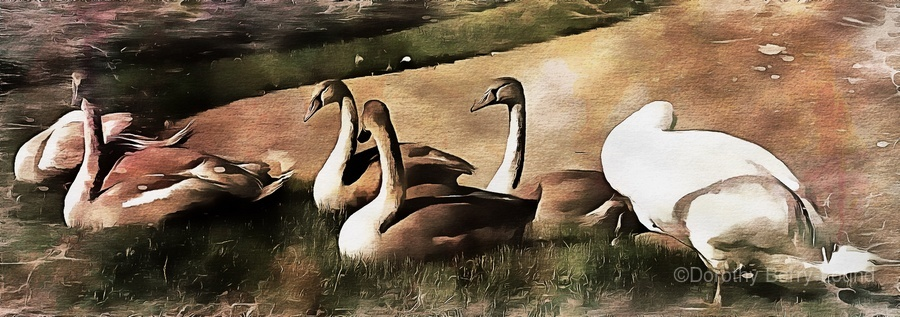 Swan Family  Print