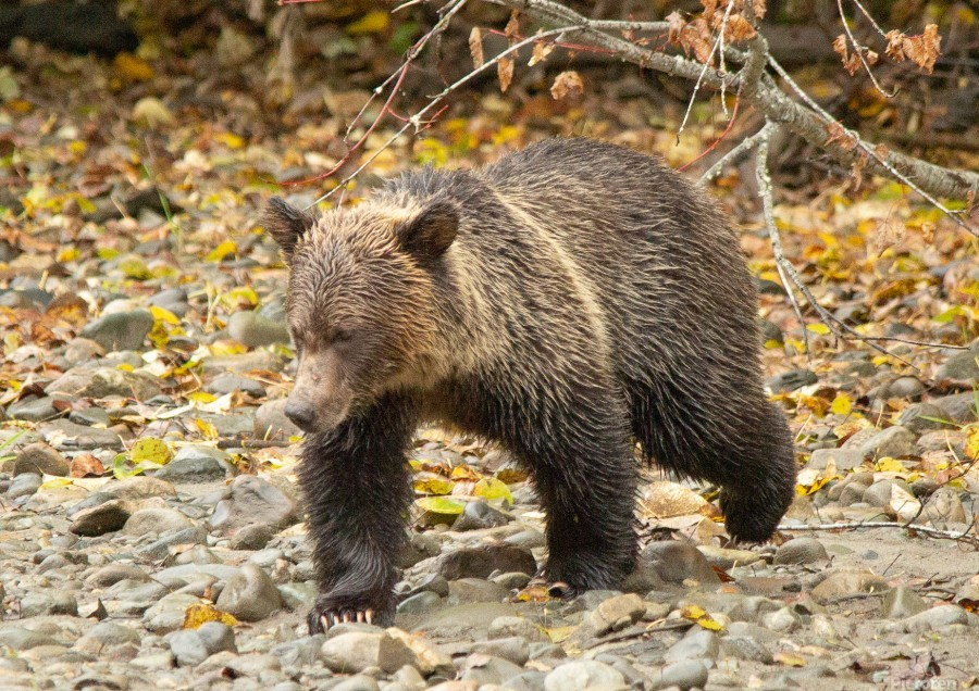 Grizzly Youngster  Print