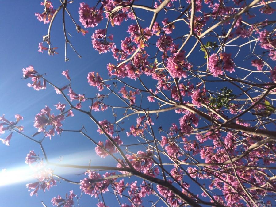 Anime cherry blossom xx  Print
