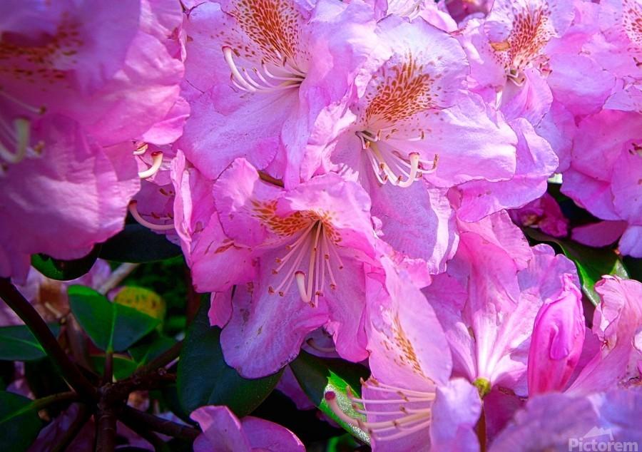 PINK FLOWER  Print
