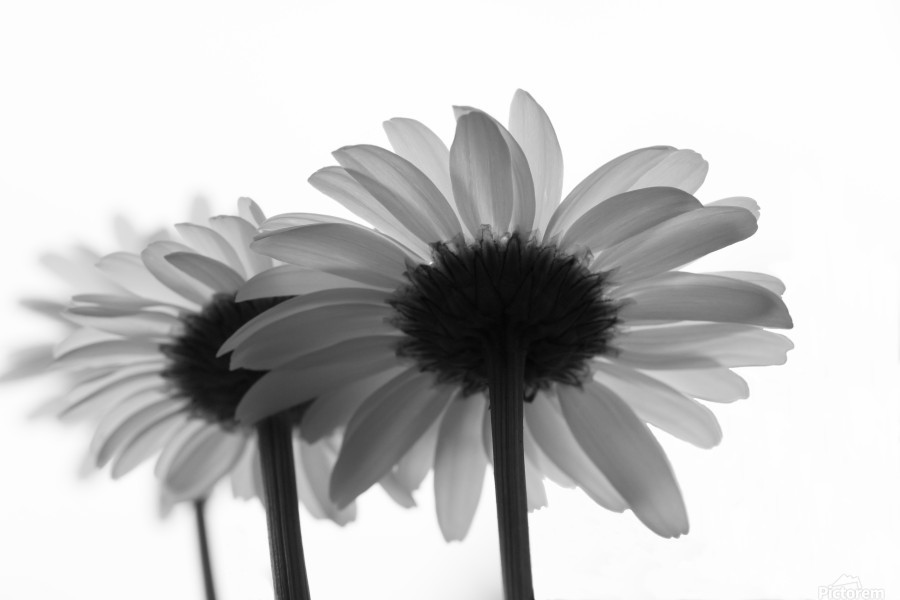Daisies Rowing To The Left BW  Print