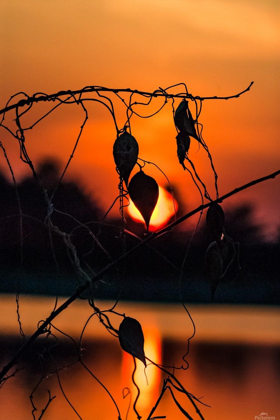 Vine Milkweed at Sunset  Print