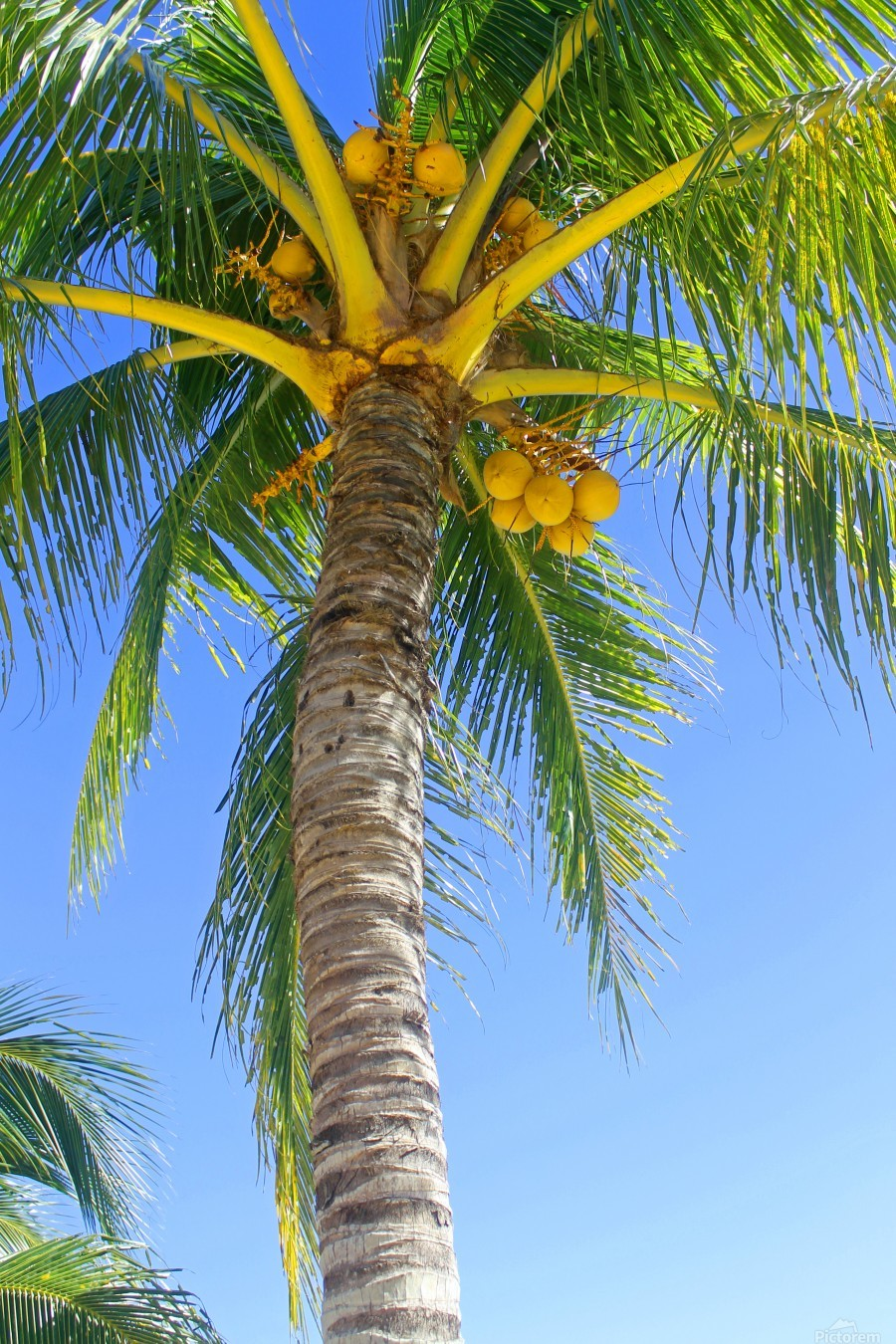 Palm Tree and Coconuts  Print